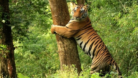 Golden Triangle with Tiger Safari, tiger safari tour india